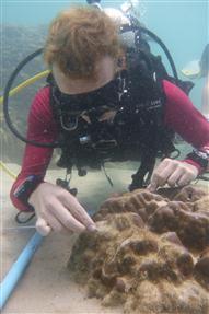 Turf algae cover on Porites sp.