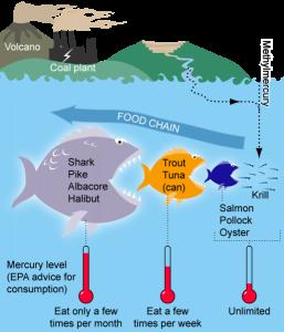 Bioaccumulation and biomagnification (source: rjd.miami.edu)