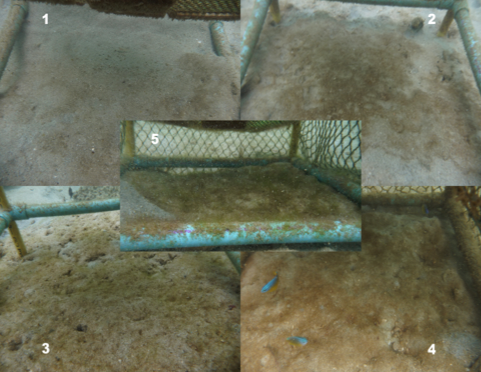 The photos taken every week of the sediment area in the subplots were  used for comparison of the visible coverage.. Five categories were defined: almost clean sand (1), brownish colouring of the sand (2), appearance of fleshy algae (3), accentuation of the colour and larger distribution of fleshy algae (4) and algae mat (5).