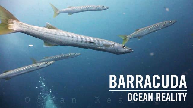 Barracuda | by Ocean Reality