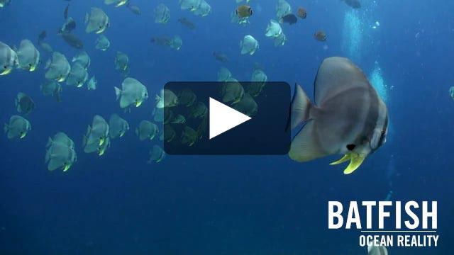 Batfish (Platax teira) | by Ocean Reality