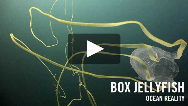 Box Jellyfish (Morbakka fenneri) | Ocean Reality
