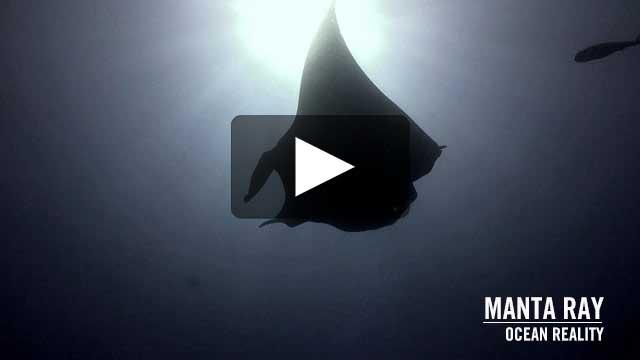 Manta ray | Ocean Reality