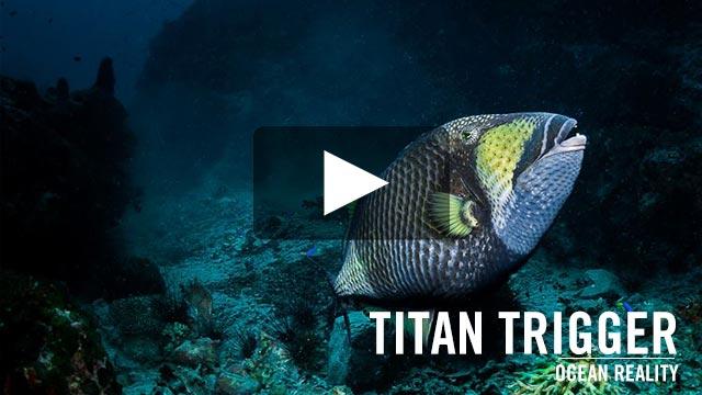 Titan Triggerfish | by Ocean Reality
